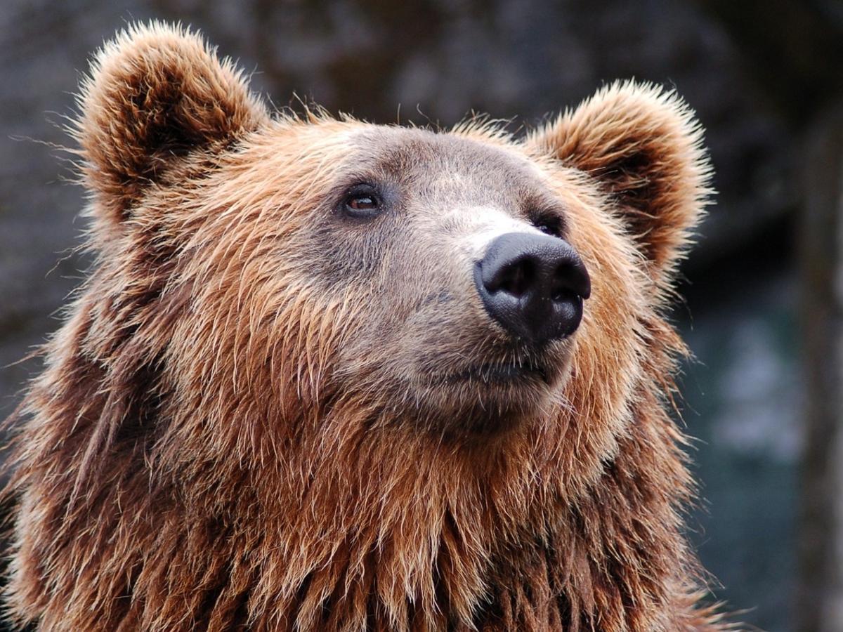 Медведи охраняю поле конопли сколько времени держится конопля в моче
