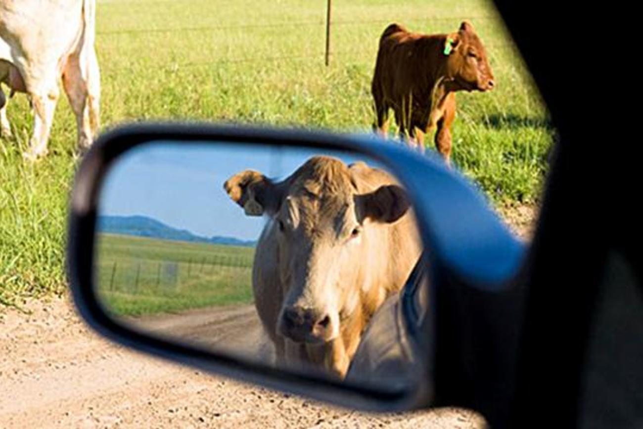 Корове снятся острова