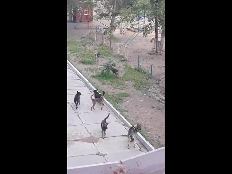 Большую стаю бродячих собак по Ползунова  показала читинка