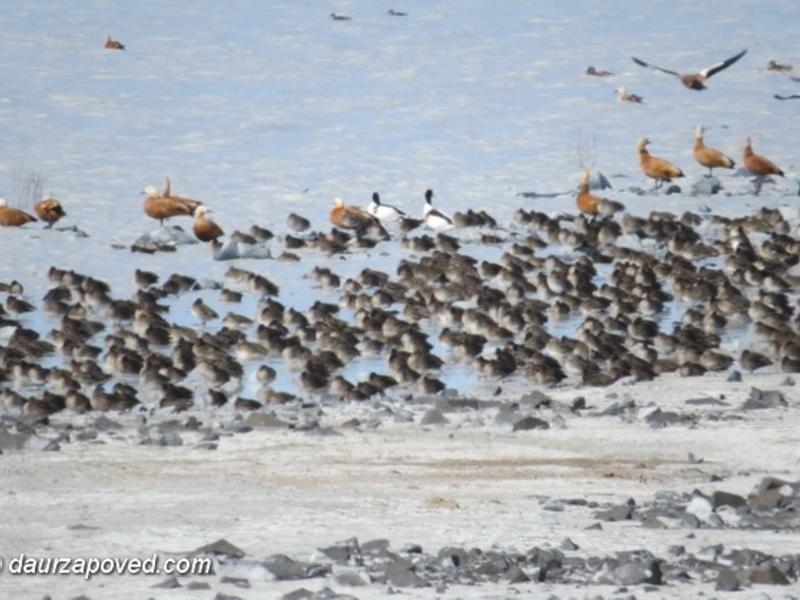 Тысячи птиц вернулись на Торейские озёра после 30-летней засухи