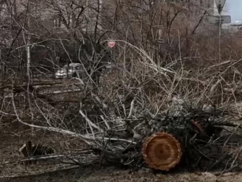 Прокуратура проверит правомерность вырубки деревьев на аллее Горького в Чите