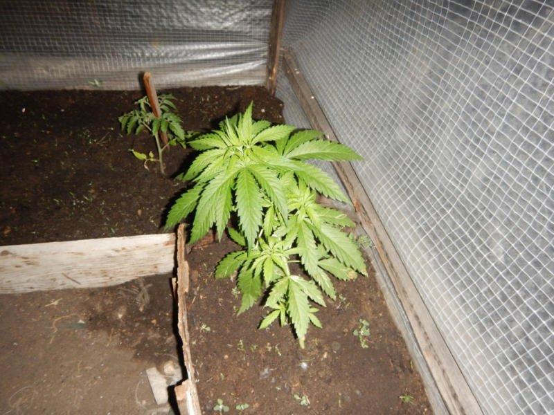 Наркополицейские нашли в огороде у читинца грядки и теплицу с коноплёй
