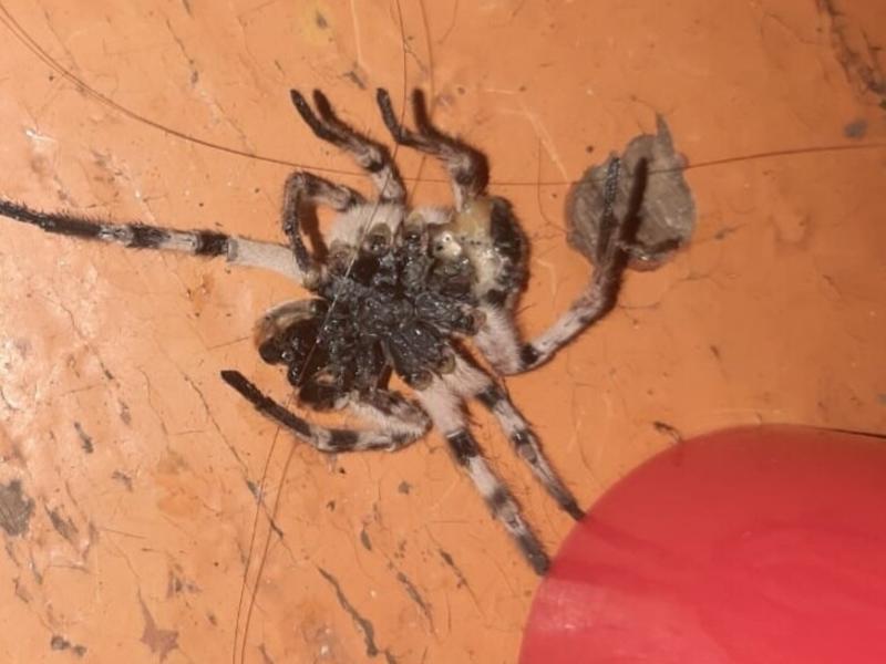 Биолог объяснил появление тарантулов в домах жителей Забайкалья