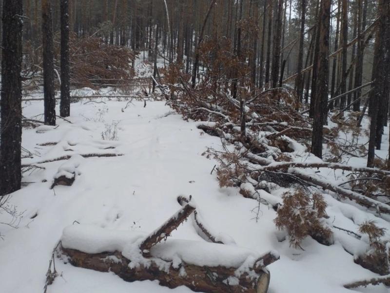 Леса на сумму 30 млн рублей незаконно срубили в Забайкалье с начала 2021 года