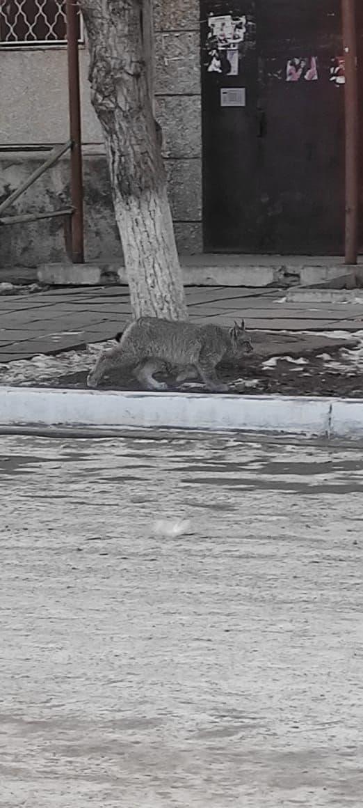 Биолог объяснил появление рыси в Краснокаменске